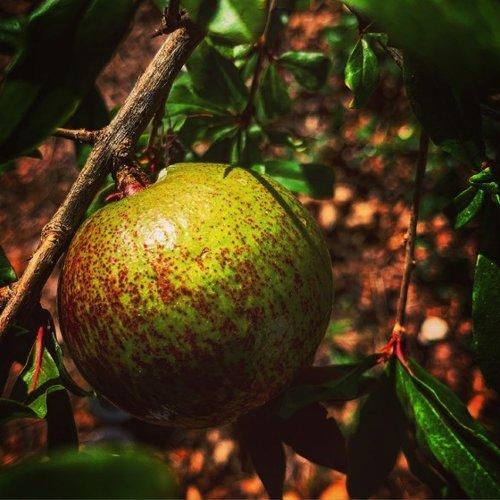 Pomegranate in the garden via Instagram – A Gardener's Notebook