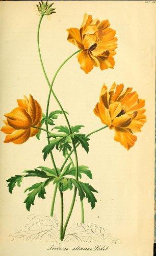 Vintage Botanical Prints – 44 in a series – Trollius altaicus from Gartenflora; zeitschrift für garten- und blumenkunde (1857) (Garden flora; journal of horticulture and floristry)