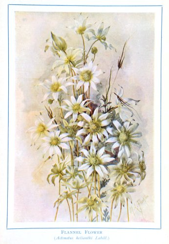 Vintage Botanical Prints – 42 in a series – Flannel Flower (Actmotns helianthi Labill.) from Australian Wild Flowers (1912)