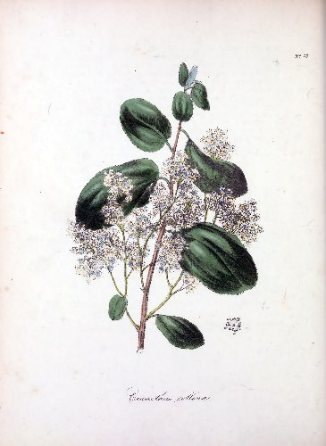 Vintage Botanical Prints – 41 in a series – Ceanothus collina (Mountain ceanothus) from The Floral Cabinet and Magazine of Exotic Botany (1837)