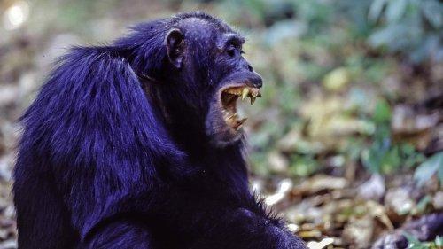Schimpansen greifen Gorillas an und töten sie