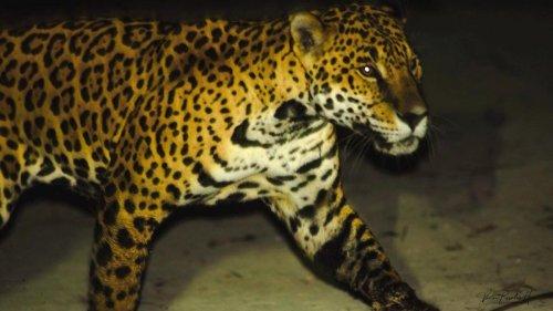 Warum Jaguare in Mexiko auf Hundejagd gehen