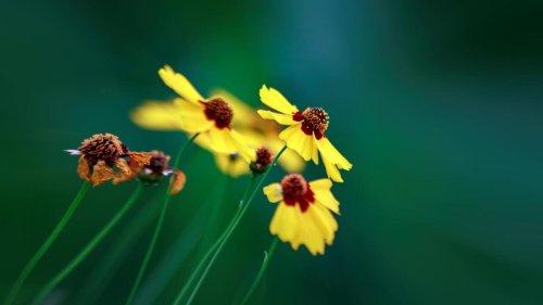 Blüht diese Blume in Ihrer Wildwiese? Insekten helfen Sie damit nicht