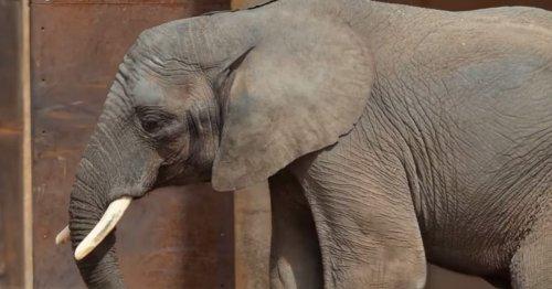 Beloved 9-Year-Old Zoo Elephant Dies After Contracting 'Devastating' Viral Disease