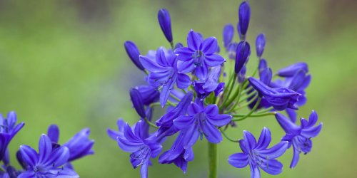 How To Grow Agapanthus | Best Agapanthus Varieties