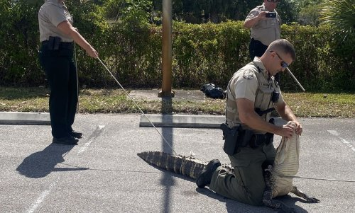 Hungry Alligator Chases Customers Through Wendy's Parking Lot
