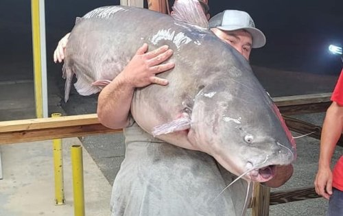 New North Carolina State Record Blue Catfish Is An Absolute UNIT