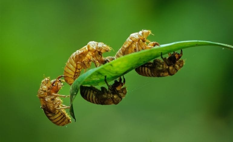 Surprise inside harvested turkey makes it clear: the cicadas are HERE!