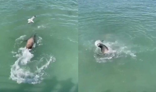Sea Lion Viciously Attacks Seagull For Trying To Steal A French Fry