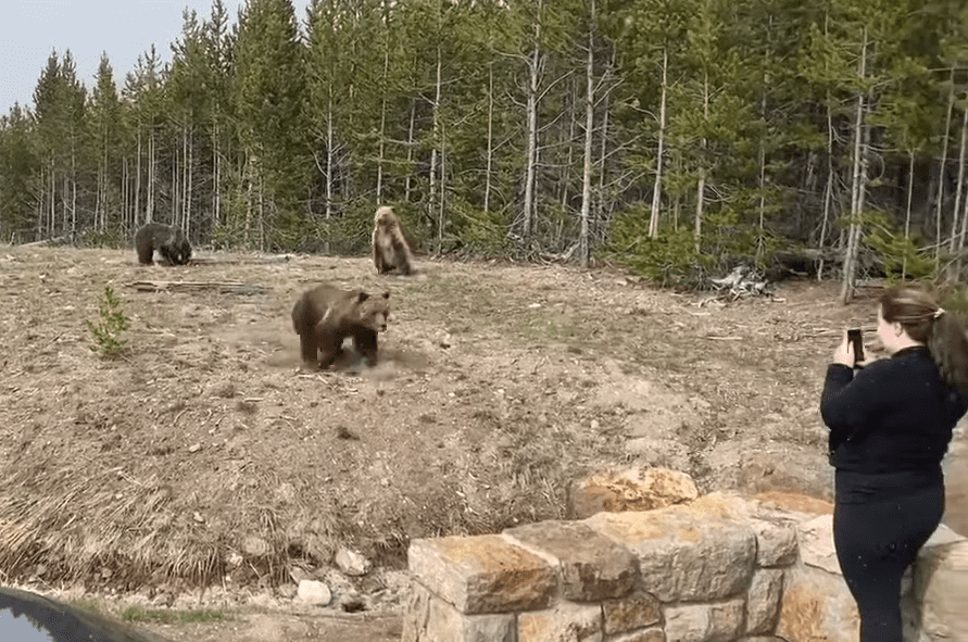 VIDEO: Elk Tries To Escape A Wolf, Slams Right Into A Moving Car At Yellowstone National Park