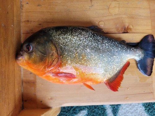 South American Piranha Caught In Louisiana Lake