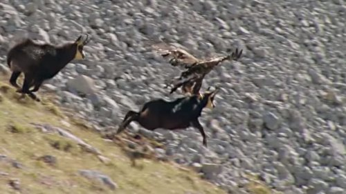 Eagle Dragging A Mountain Goat Off A Cliff Is Nature At Its Most Brutal