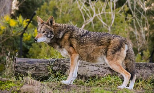 Eight Red Wolves Released Into The Wild In North Carolina
