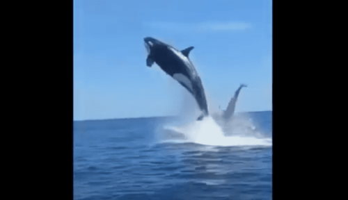 Orca Whale Launches Dolphin Into The Air During Group Hunt