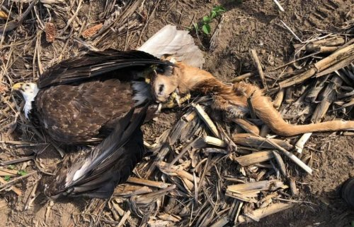 Dead Bald Eagle Found With Talons Stuck In Deer Skull
