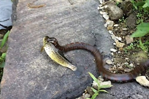 Water Snake Slithers Away With Angler's Fresh Trout Catch
