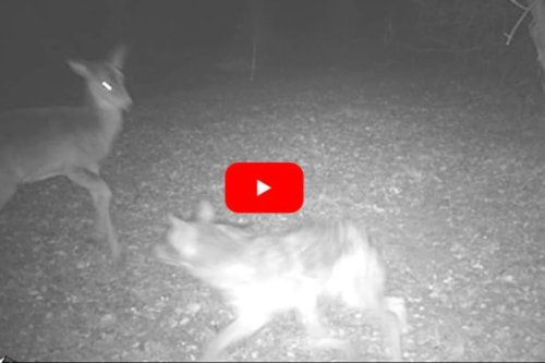 Lone Coyote Takes Down Full-Grown Deer in Front of Trail Camera