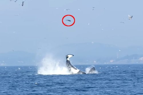 Orca Whale Sends Seal Flying Nearly 80 Feet With a Flip of the Tail
