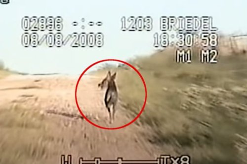 El Chupacabra: The Explanation for the Spooky Goat Sucker Legend