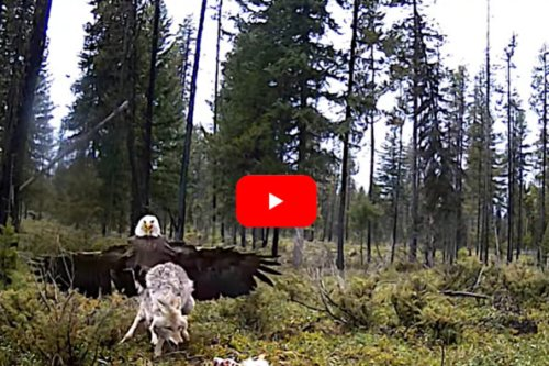 Bald Eagle and Coyote Scrap Over Deer Carcass in Montana Wilderness