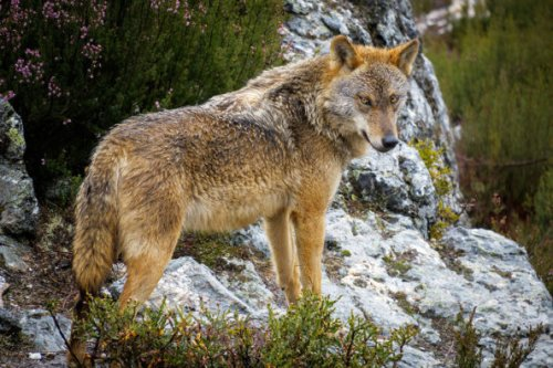 Wolf Hunting 101: Where, When, and How to Hunt Wolves