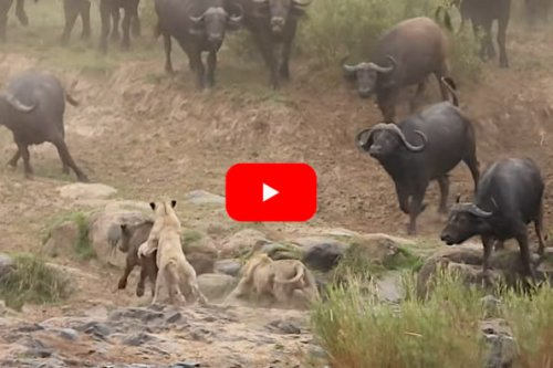 Lion Pride Tempts Fate By Targeting Herd of Cape Buffalo in Attack