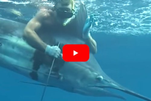 Spear Fisherman Harvests 11-Foot World Record Class Blue Marlin
