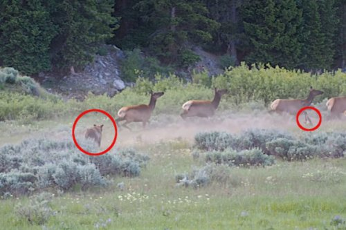 Grizzly Bear Runs Down Elk Calf Trampled By Own Herd in Grand Teton National Park