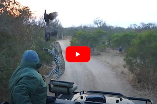 Leopard Leaping After Bird Nearly Lands in Vehicle Full of Tourists