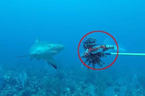 Spearfishermen Teach Sharks to Help Combat Invasive Lionfish Populations