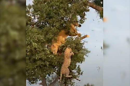 Lion and Leopard Battle Over Kill in a Treetop Until The Branches Break Beneath Them