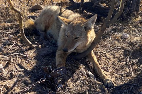 Coyote Trapping Basics: The Hows and Whys of This Predator Control Technique