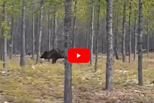 Man Films Huge Wolf Chasing Dogs in Northern Saskatchewan