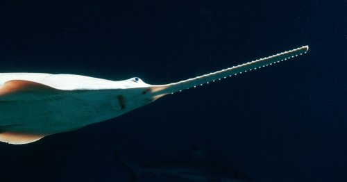 A Third of Shark and Ray Species May Face Extinction