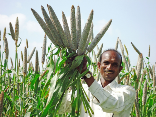 Millet based diet can lower risk of type 2 diabetes and help manage blood glucose levels