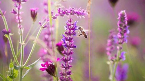 Bienenfreundliche Blumen: So lockt ihr Bienen in euren Garten