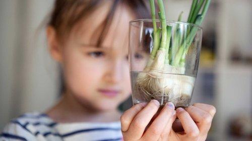 """""""Regrowing"""" in der Küche: Dieses Gemüse wächst aus Abfällen nach"""