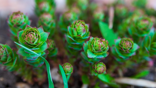 This Plant Supplement Can Keep Your Mind Sharp, Prevent Diabetes, and Reduce Your Cancer Risk