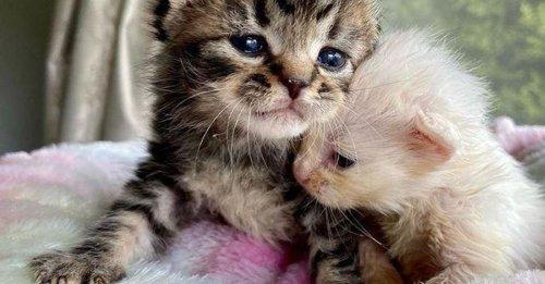 2 chatons orphelins sauvés de la rue à l'âge de 6 jours, grandissent ensemble en veillant continuellement l'un sur l'autre