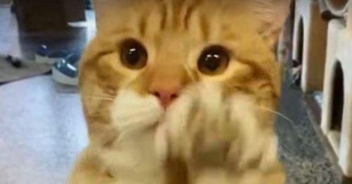 Un chat salue tous les visiteurs du refuge en espérant être adopté