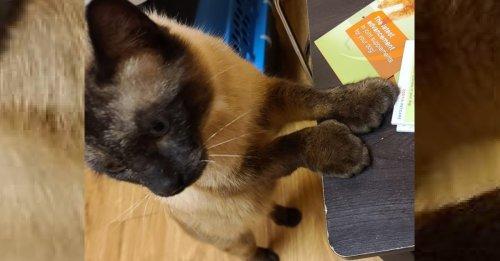 Un chat siamois polydactyle et abandonné recherchait une maison pour offrir son amour gros comme ses pattes