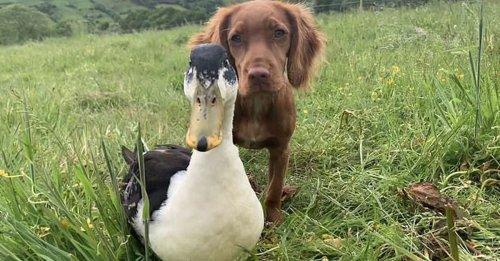 L'adorable vidéo d'une chienne et d'un canard devenus les meilleurs amis du monde