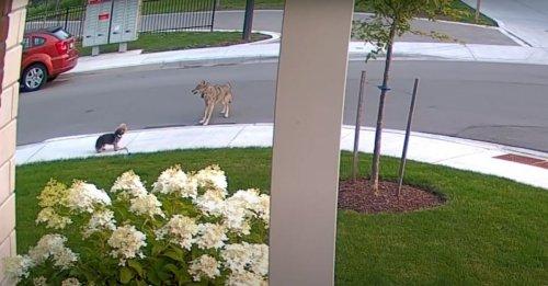 Un Yorkshire Terrier courageux affronte un coyote pour protéger sa propriétaire de 10 ans (vidéo)