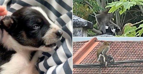 Un singe kidnappe et prend en otage un chiot pendant 3 jours, des habitants tentent de le secourir (vidéo)