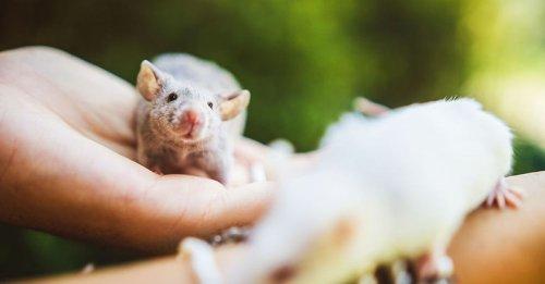 Ces 15 rats et souris sauvés des laboratoires découvrent pour la première fois le monde extérieur