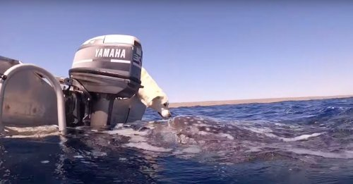 Une plongeuse immortalise la rencontre magique entre son Labrador et un requin-baleine (vidéo)