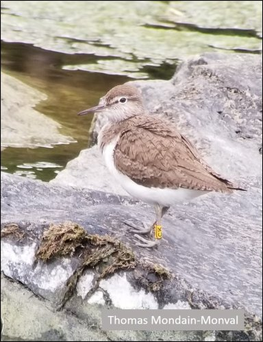 Not-so-Common Sandpipers