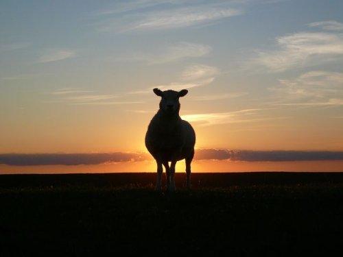 WHEN SHEEP MAKE SHEPHERDS