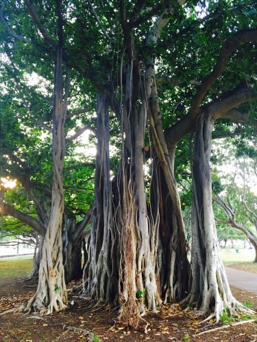 10 things you need to know about banyan trees