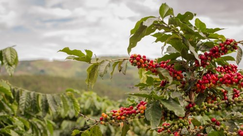 Ethiopian Farmers Triple Coffee Yields with Sustainable Tree Stumping